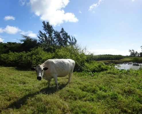 visit_village_life_mauritius_cow bicycle tour
