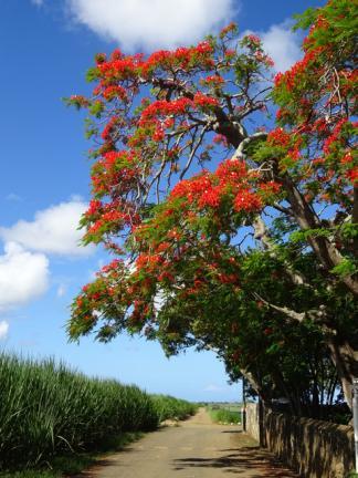 Le flamboyant à l'Ile Maurice, nature et découvertes