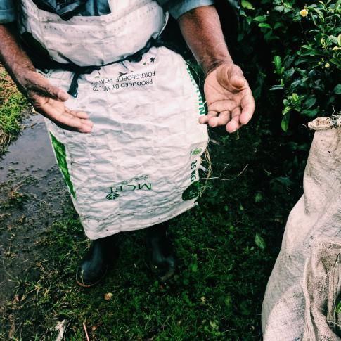 thé plantation ile maurice visite